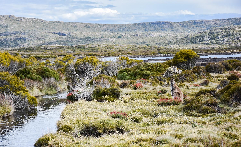 Wallaby en Tasmanie
