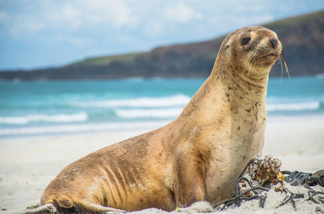 Lion de mer animaux de Nouvelle-Zélande