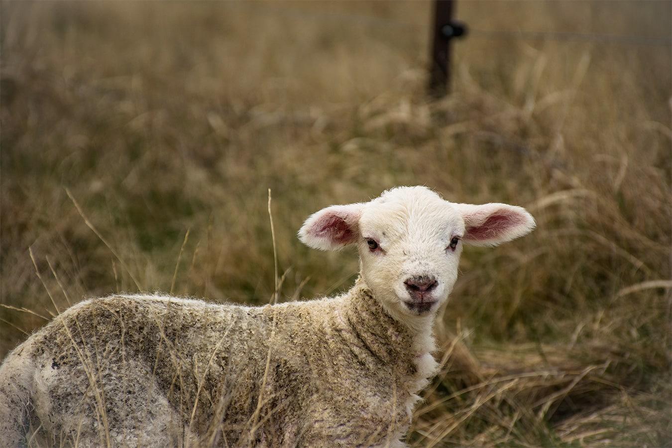 Animaux de Nouvelle-Zélande : les moutons et agneaux
