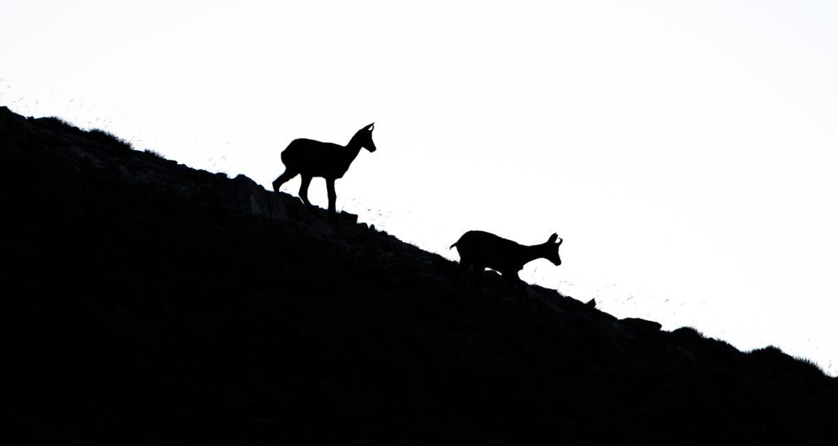Isard sur les crêtes de la haute vallée de la Carança