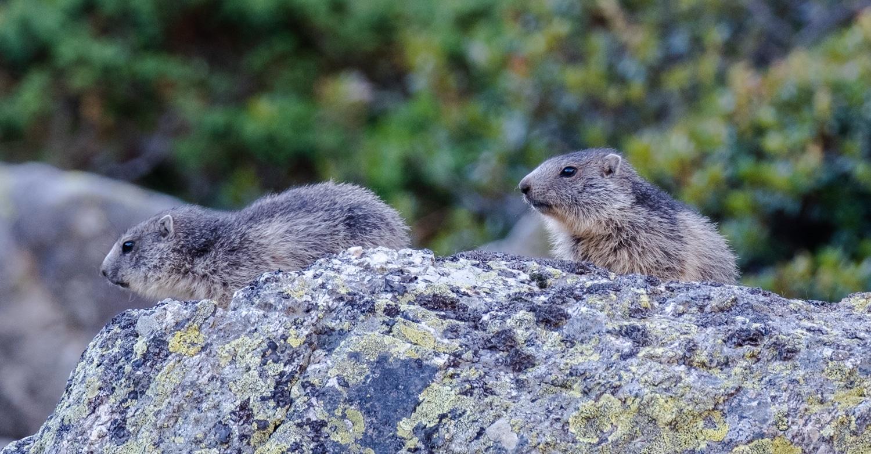 marmottes sauvages dans les pyrénées orientales