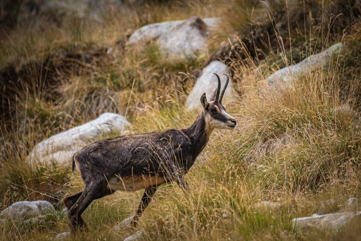 Chamois des Alpes, animal de montagne