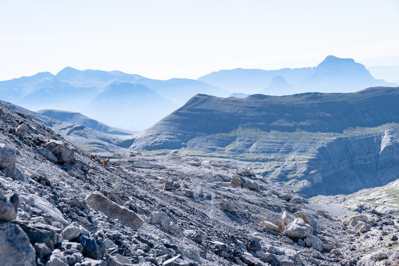 isards sur la randonnée du Mont Perdu