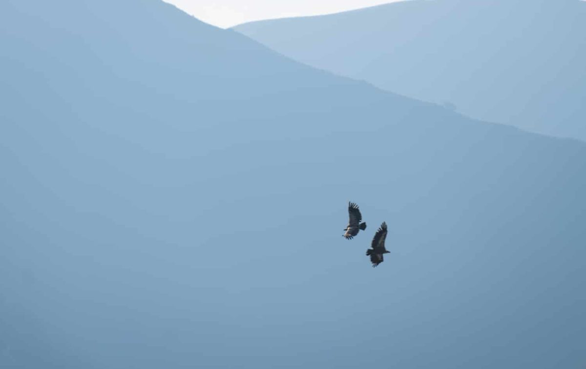 vautours fauves dans les pyrénées : animaux de montagne