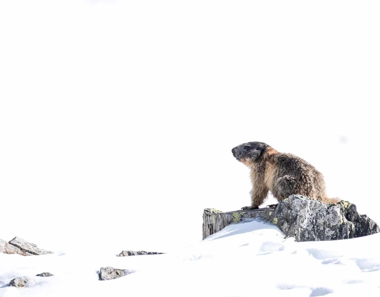 Marmotte au cirque de Troumouse dans les Pyrénées