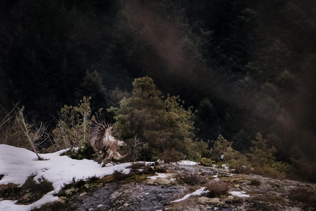 vautour du val d'Azun