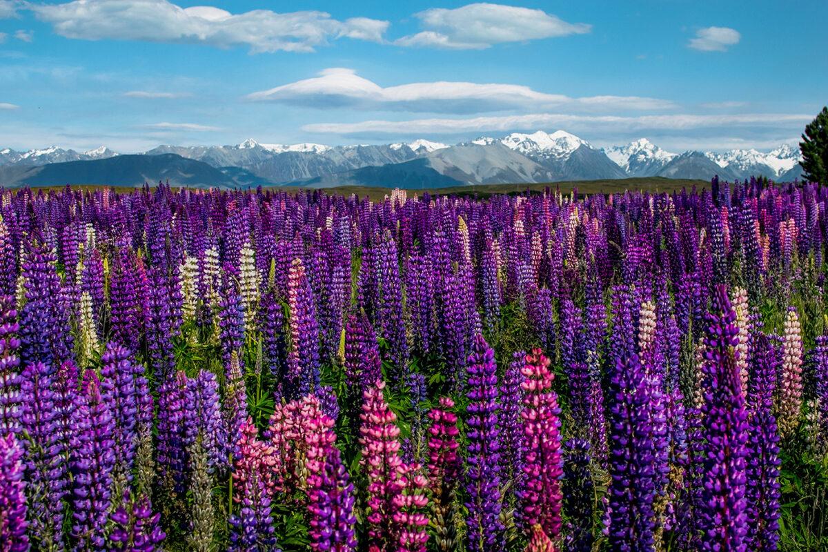 Champs de lupins en Nouvelle-Zélande pendant notre voyage de un an en PVT