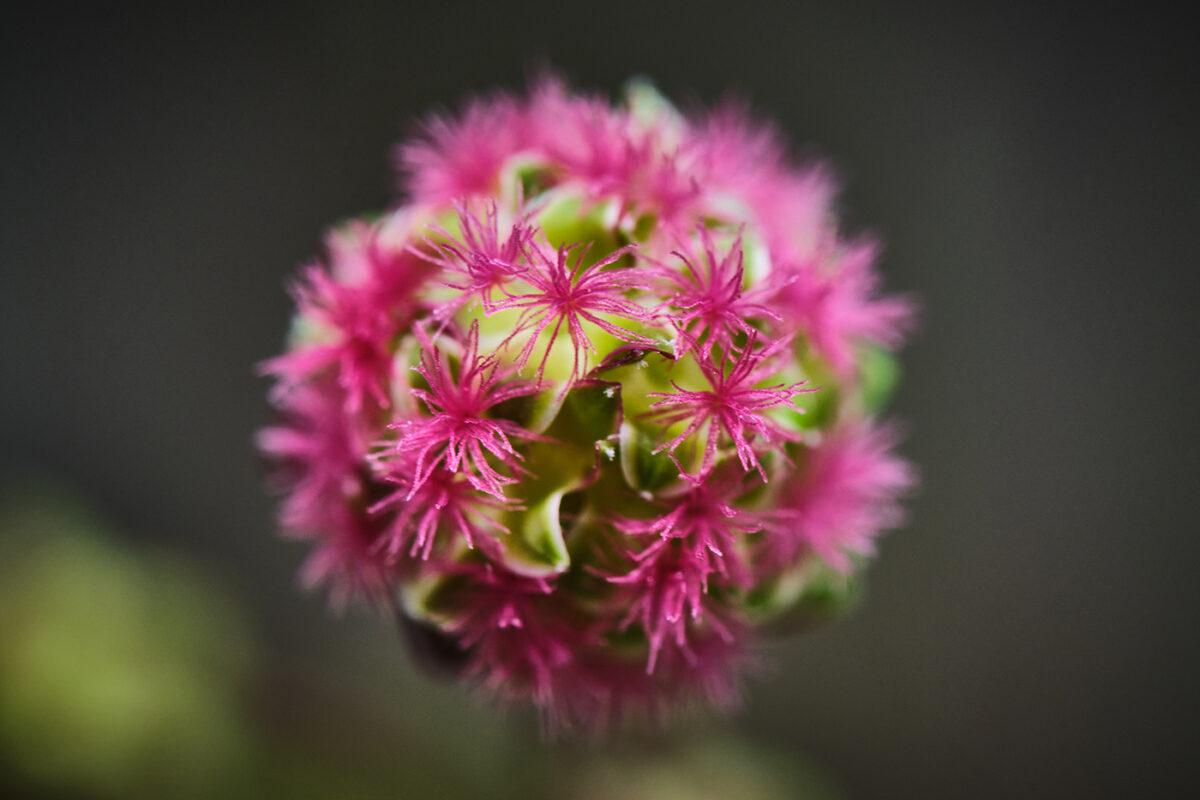 Fleur de Lozère