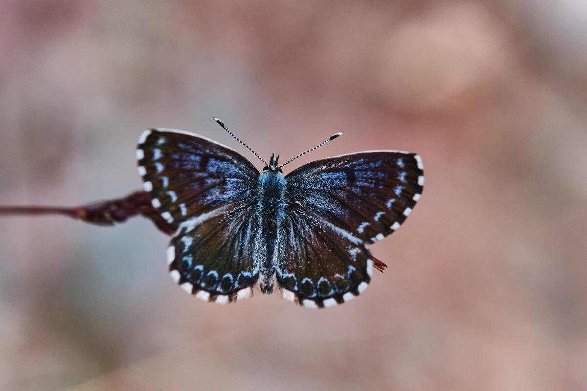 Papillon en Lozère