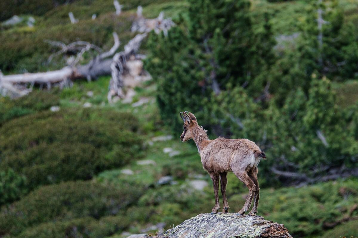 Isard sauvage dans les Pyrénées Orientales au refuge des Cortalets
