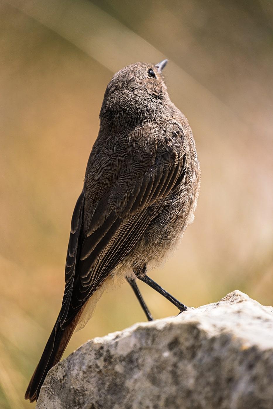 Rouge-queue noir au lac de Peyre