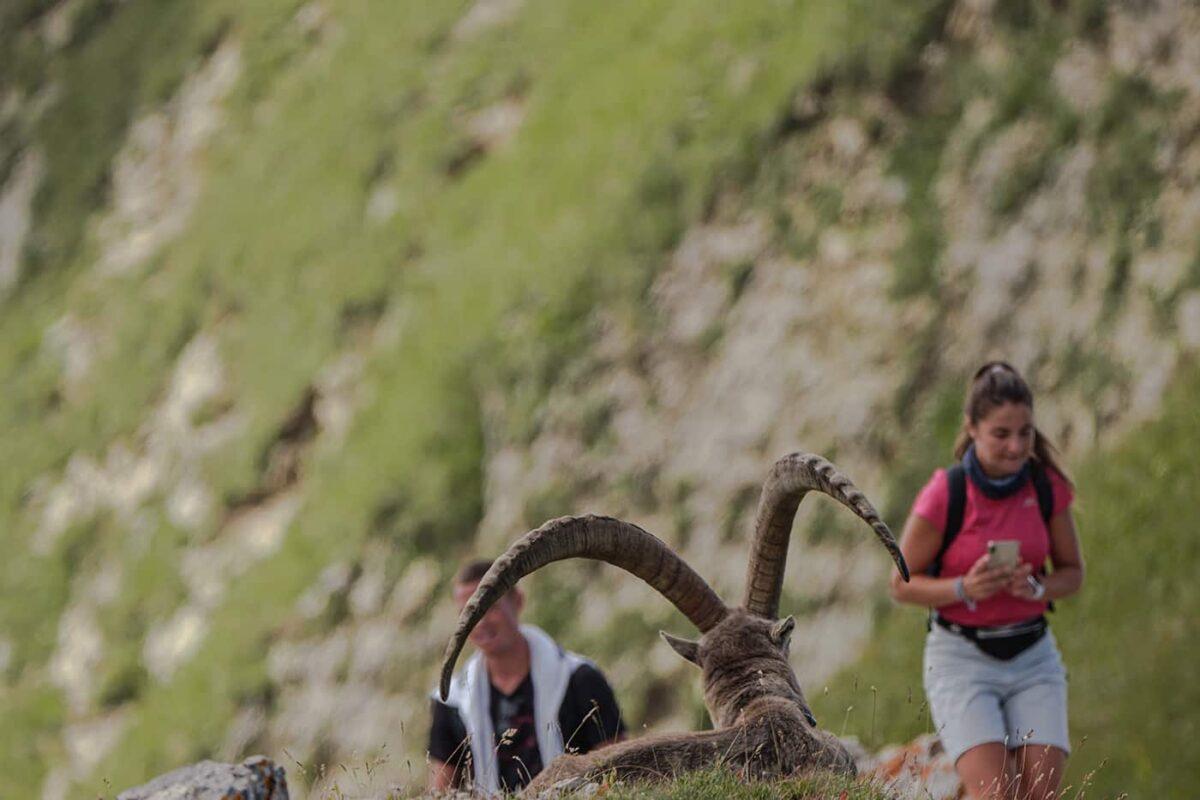 Lac de Peyre bouquetins pris en photo par des touristes