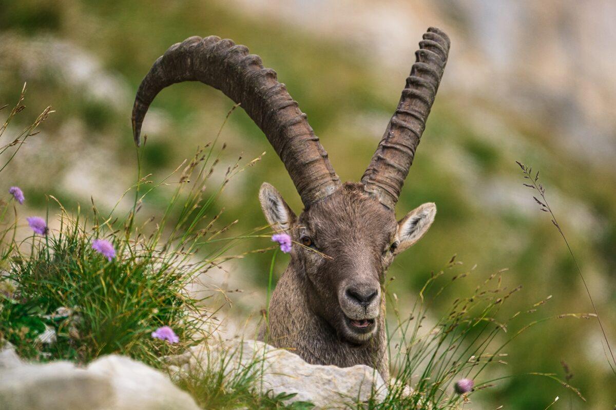 Bouquetin des Alpes mâle au lac de Peyre