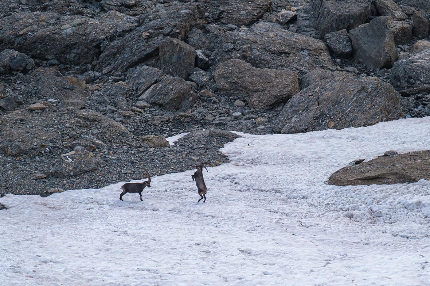 Bouquetins des Alpes en combat au refuge du Presset