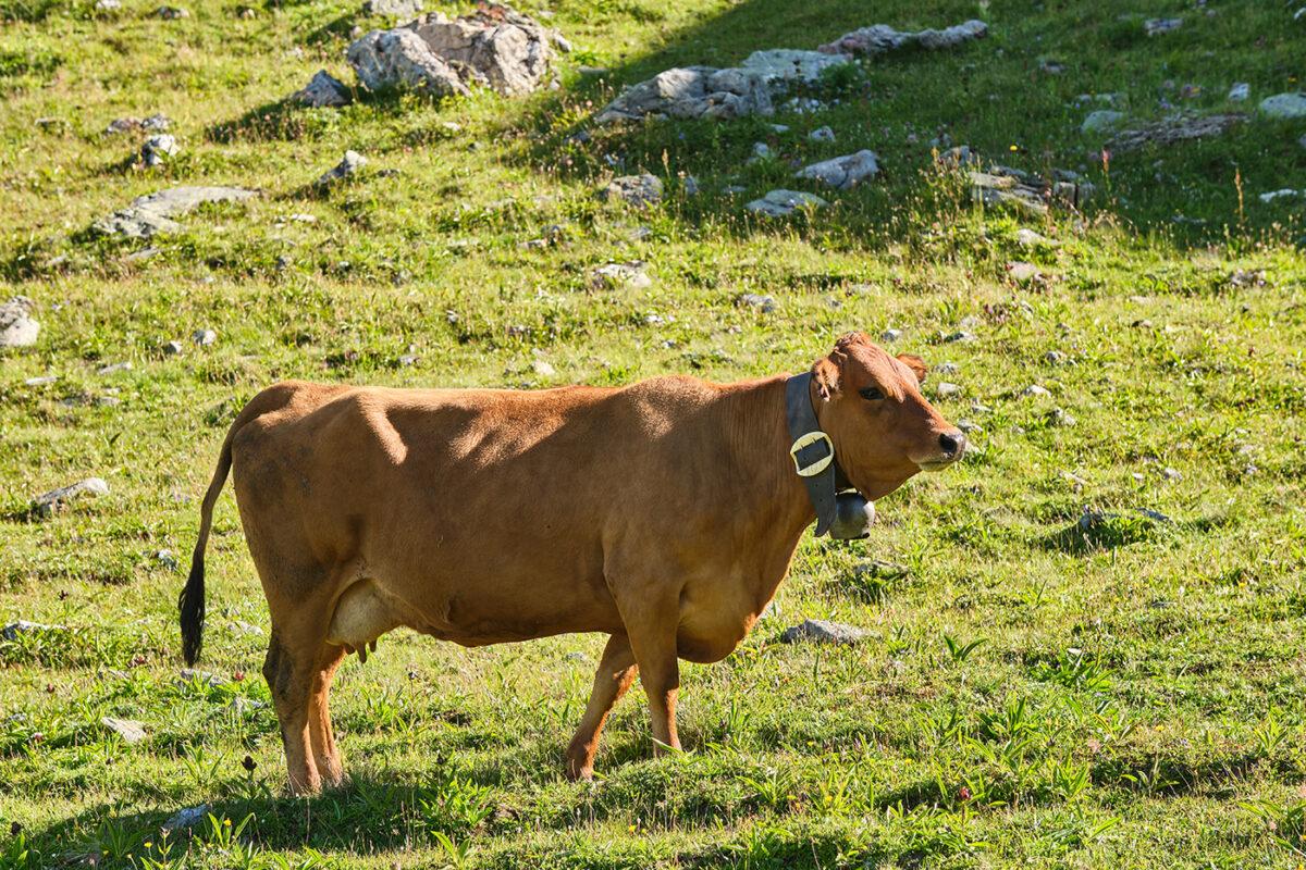 Vache beaufortain