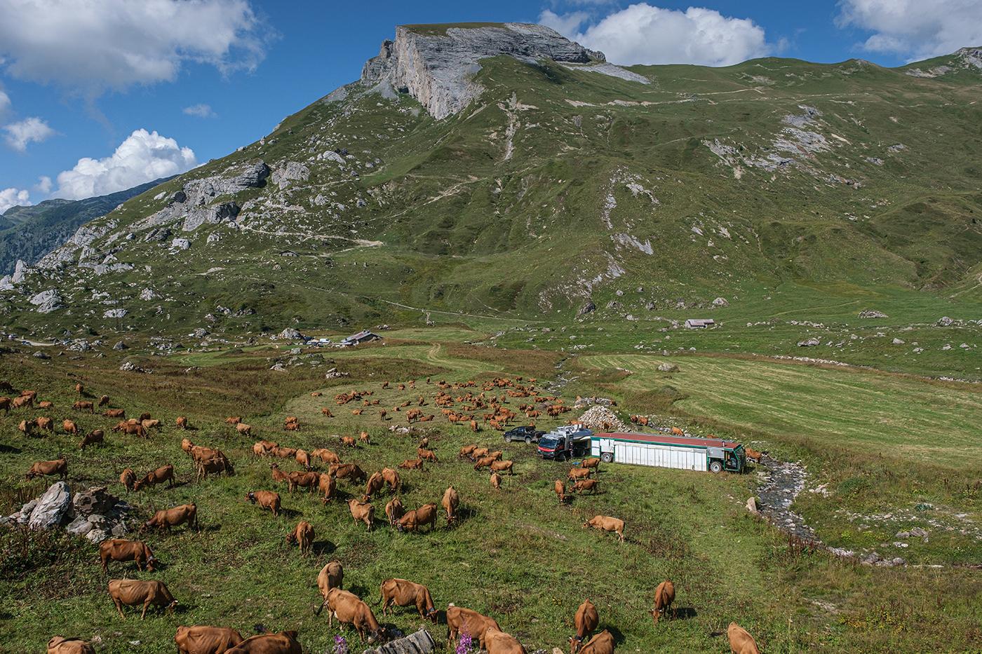 Vaches produisant le fromage AOP Beaufort