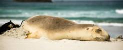 Animaux de Nouvelle-Zélande : Lion de mer faisant la sieste