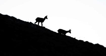 animaux de montagne : les isards des pyrénées